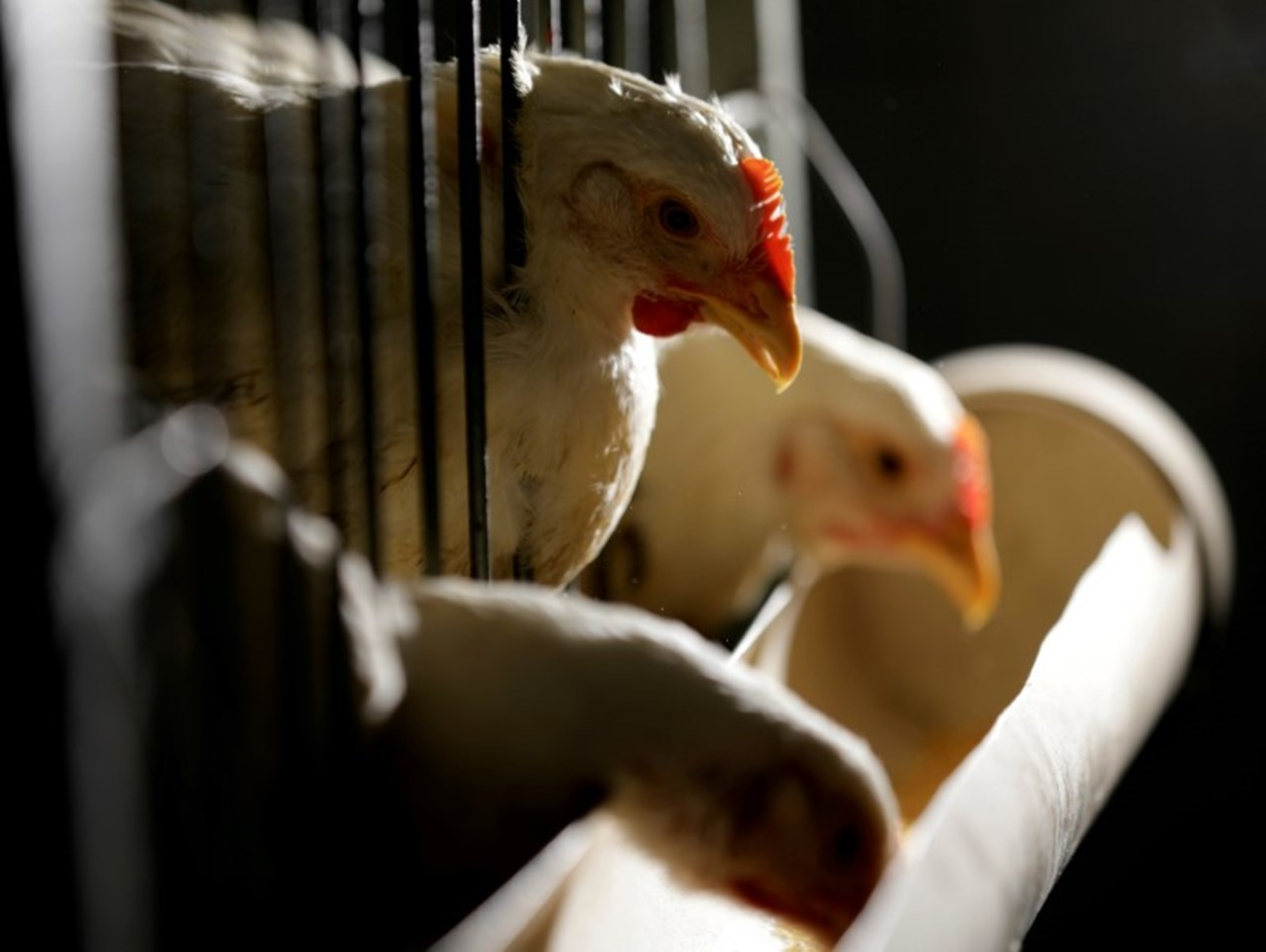 Kenyan farmers swap back to hardy chickens