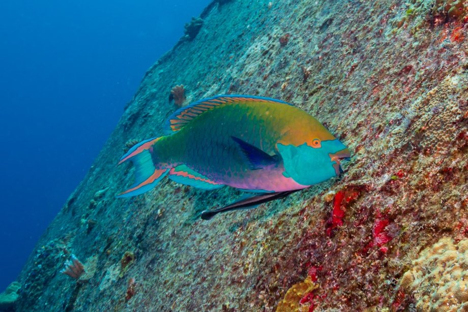 Parrotfish are key to save coral reefs of Providencia, Colombia