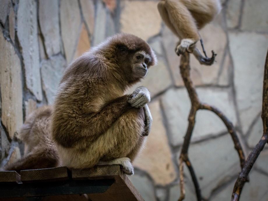 Evolution of human speech: Primates offer important insight