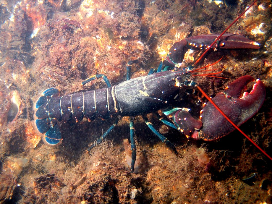 Lobster threatens environmental balance in freshwater in Germany