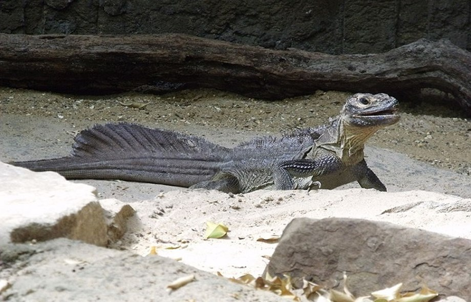 DENR takes steps to protect Sailfin lizard in Philippines