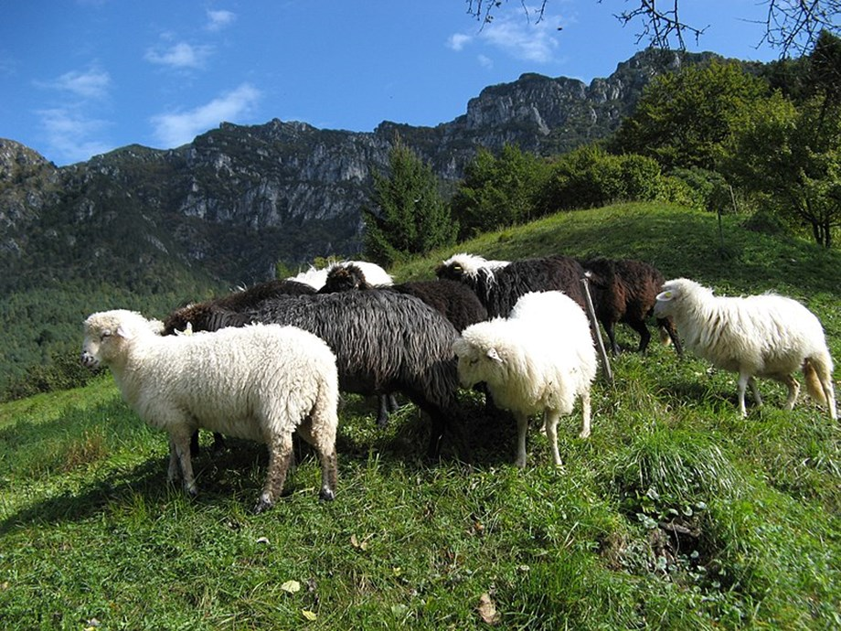 Japan finalizes technical requirements for US sheep and goat imports after 14 years