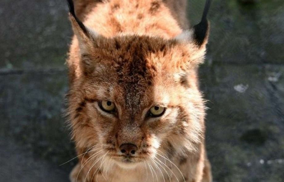 Securing a safe haven for the Balkan lynx