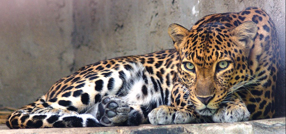 Leopard, injured in attack by cows, dies