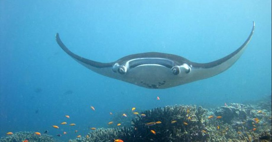 NOAA discovers very first natural Manta ray in Gulf of Mexico
