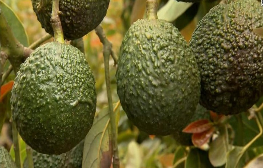 Avocado 'green gold' ripe and ready for South Africa's farmers