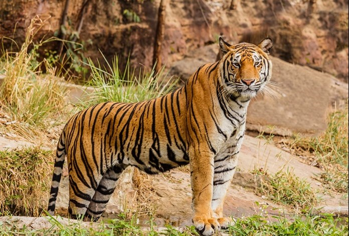 Translocation of MP tigers to Odisha begins