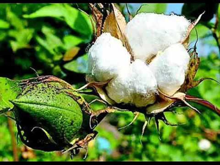 Indian farmer's cotton production suffers due to pests' attack