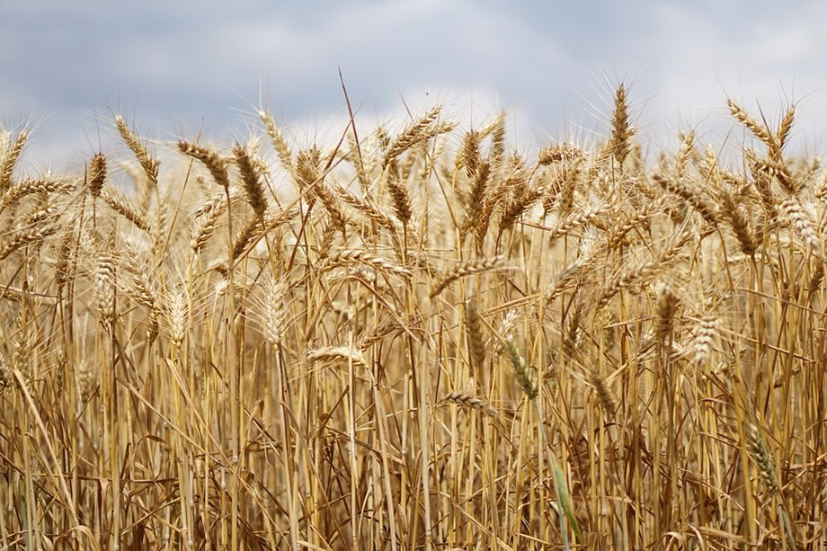 No raise in wheat import tax in India, indicating output deficit