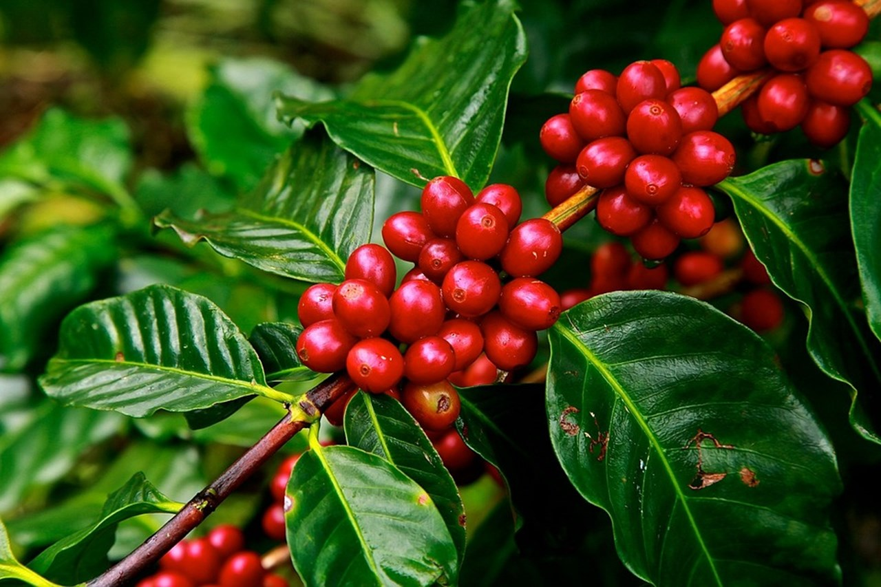 Brazil can earn more profit from coffee than soy