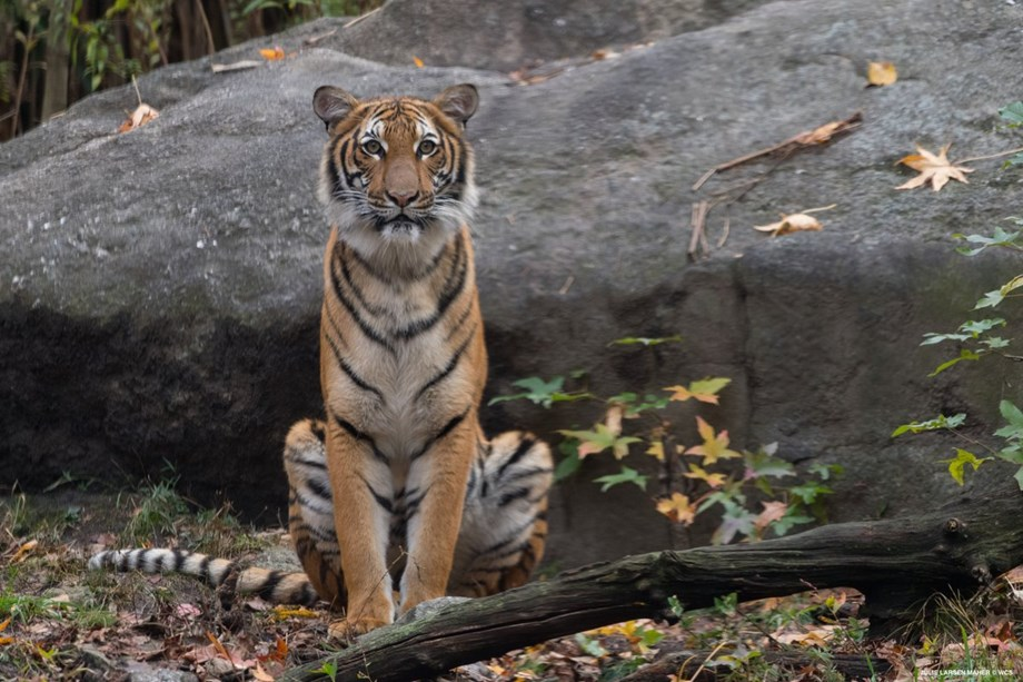 With just 1411 left, India celebrates International Tiger Day