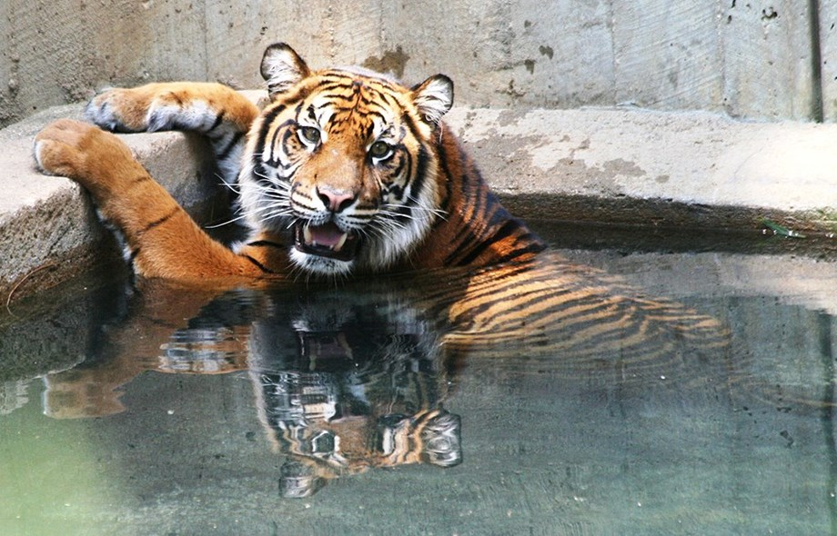 International Tiger Day: Save the endangered species for healthy ecosystems