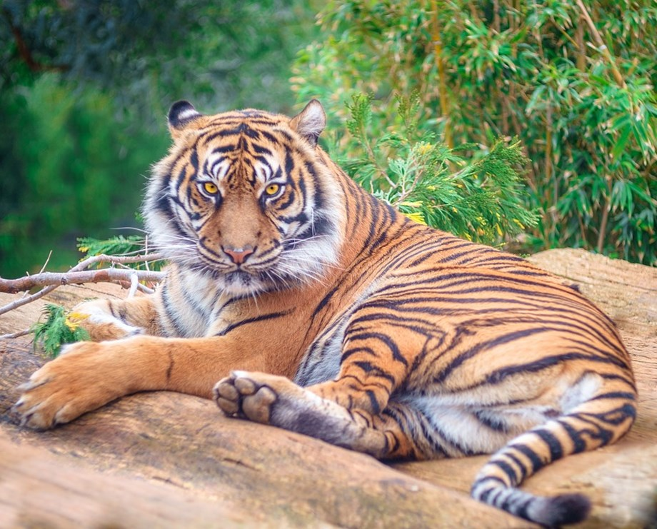 International Tigers Day: Jim Corbett quit hunting because of tiger shootings, says Thapar