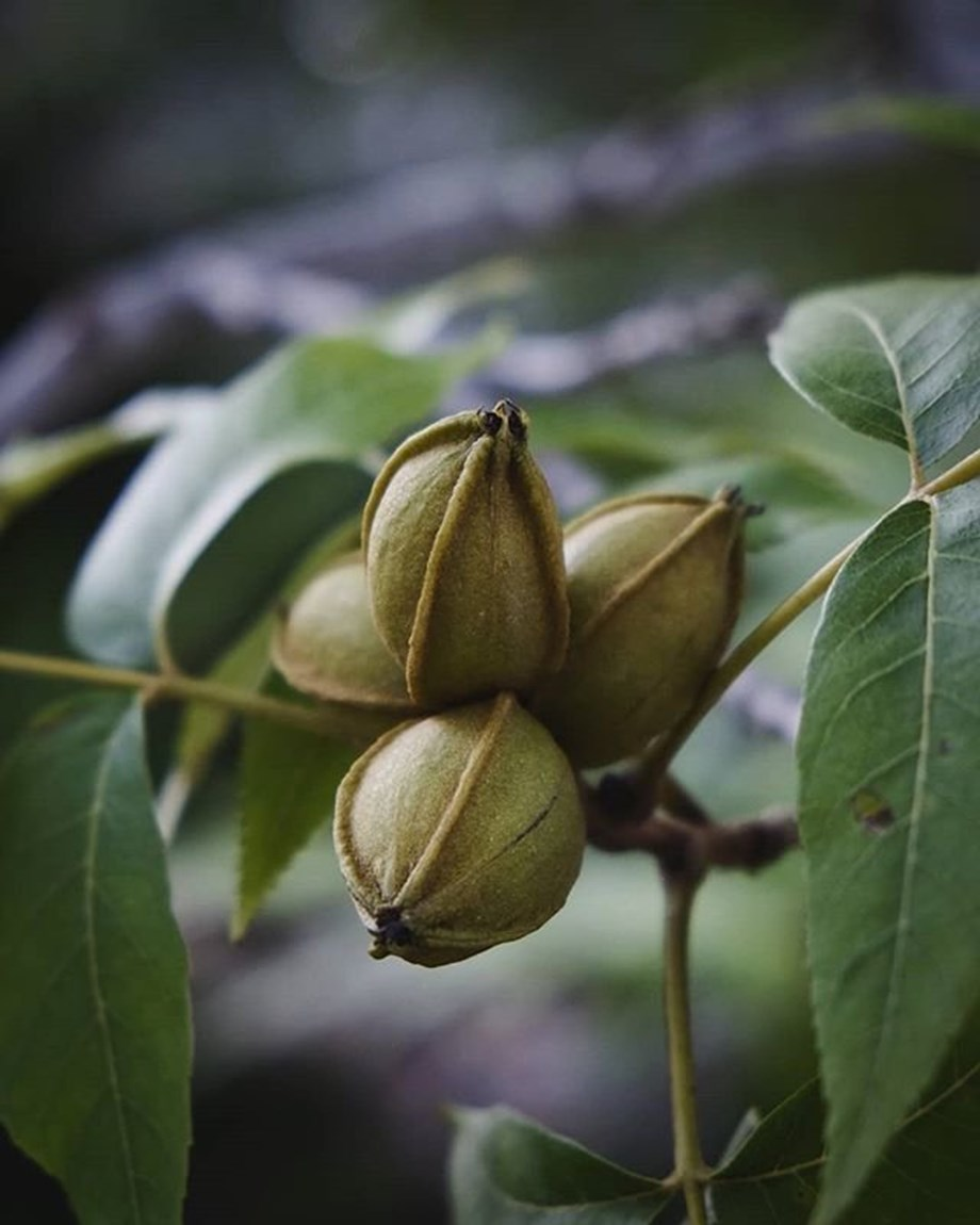 ARDA ready to set pecan nut production in Matabeleland North province