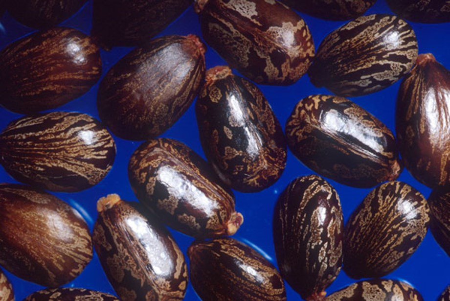 Castor seed prices decline by 18rs on weak spots