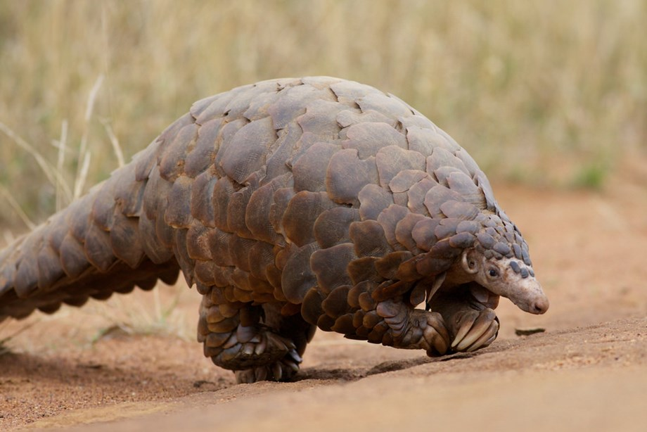 2 Indian pangolins radio tagged, released back to Satpura Tiger Reserve in MP