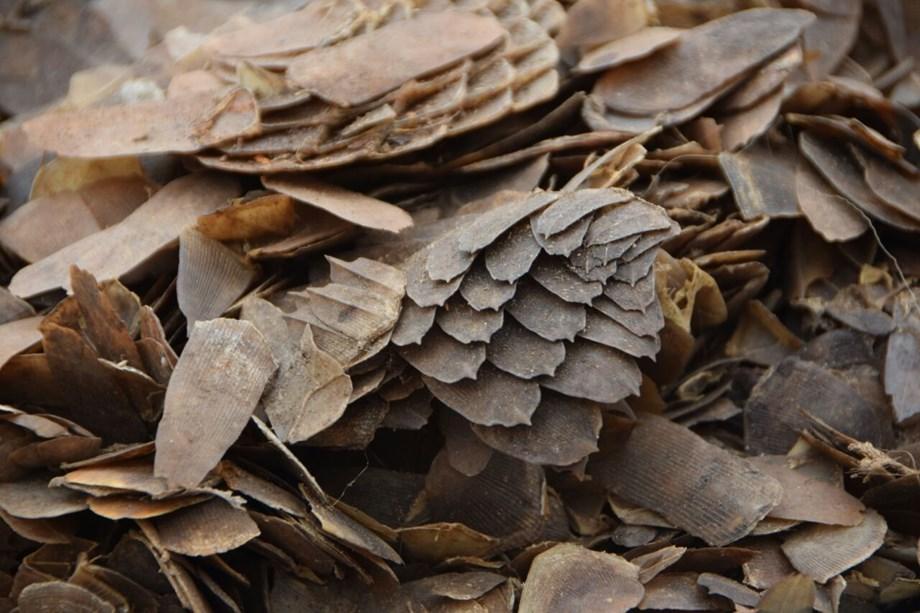 Malaysian authorities seize record 30 tons of pangolin haul: Wildlife group