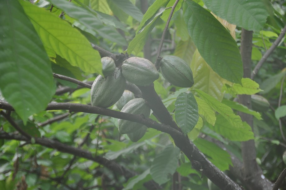 UPDATE 1-Ivory Coast, Ghana add 'living income' cocoa premium to fight poverty