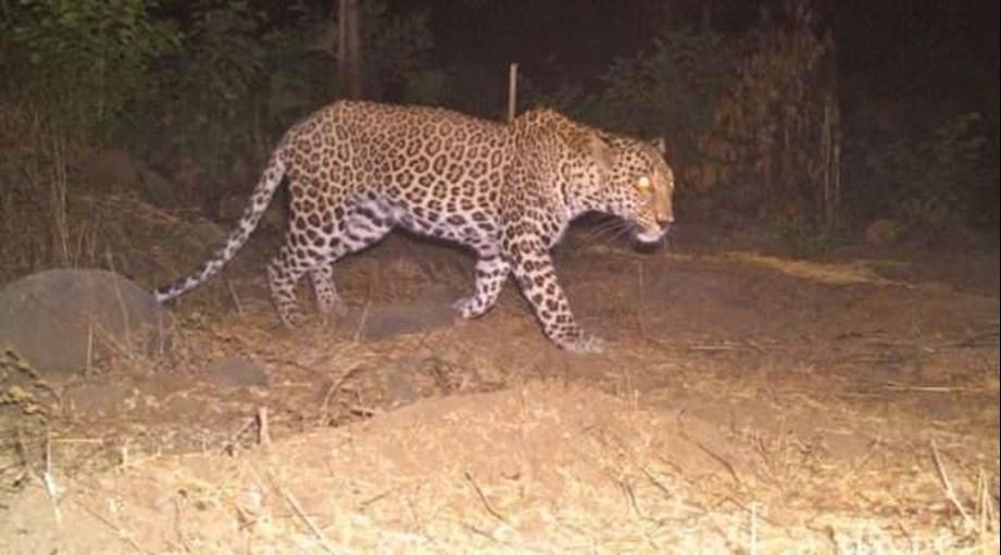Man-eater leopard caught