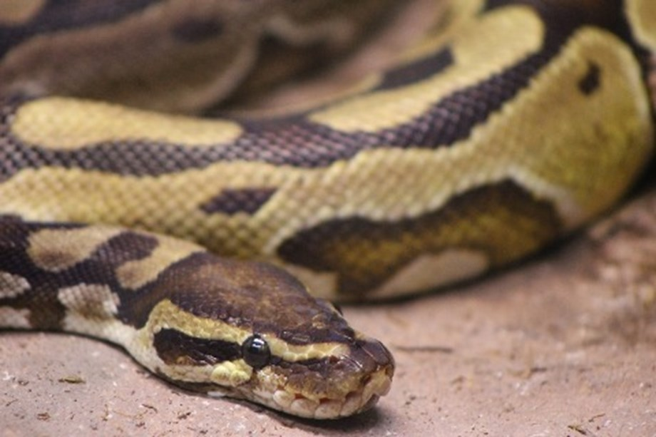 FEATURE-'It was going for my throat': Florida python hunters wrestle invasive snakes