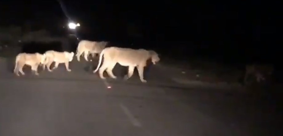Lions on roads of Gujarat: Viral video from Amreli creating buzz online