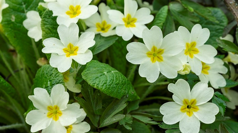 Compound from Christmas berry primrose plant could slow down eye cancer