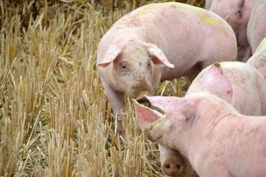Chinese official: Pig fever outbreak 'complicated and grim'