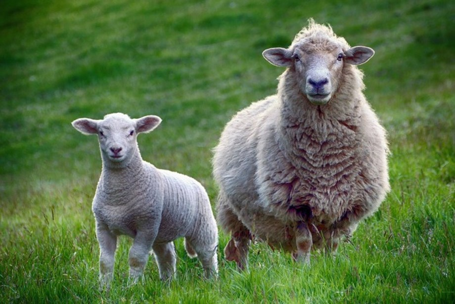 ALEC to halt shipments of live sheep to Middle East for 3 months each year