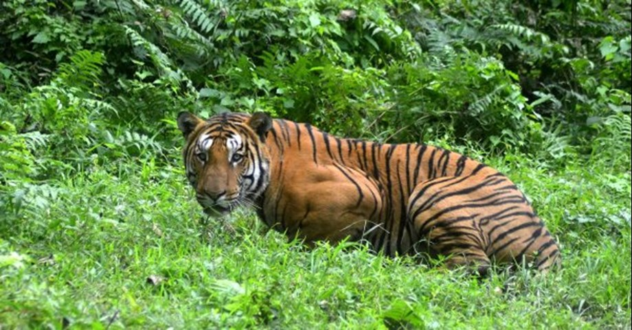 4 elephants deployed in Anji-Ralegaon forest belt to capture cubs to tigress Avni