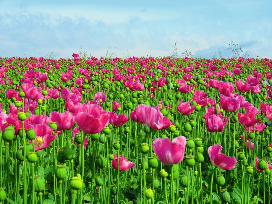 Opium farmers concerned amid falling demand over Mexico