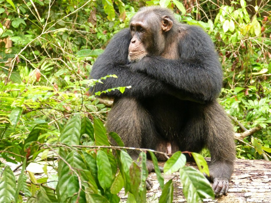 New Study Reveals, Social Insecurity also stresses chimpanzees