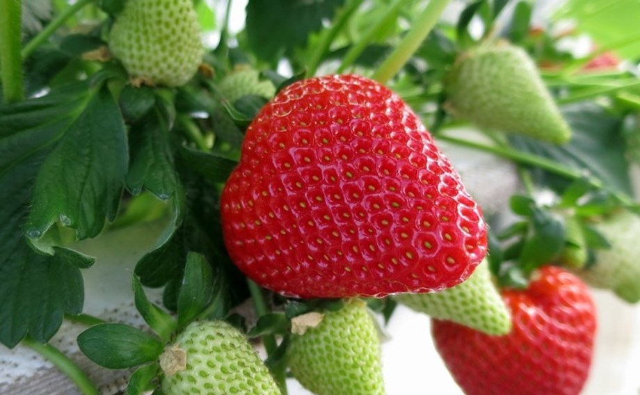 SGNZ calls for strawberry growers to vote in referendum to apply for levy