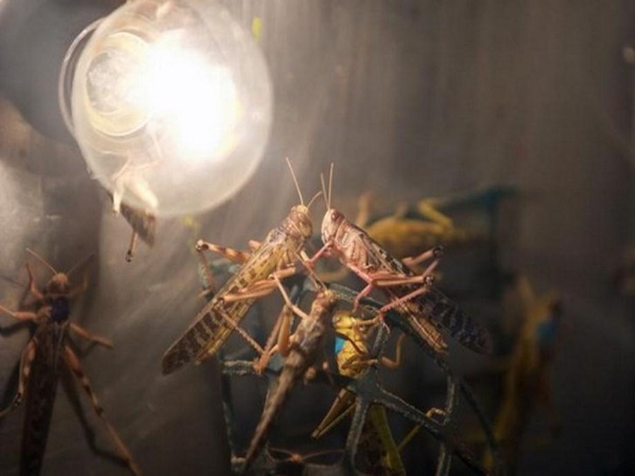 Pakistan: Punjab govt. forms 102 special team to control locust attack