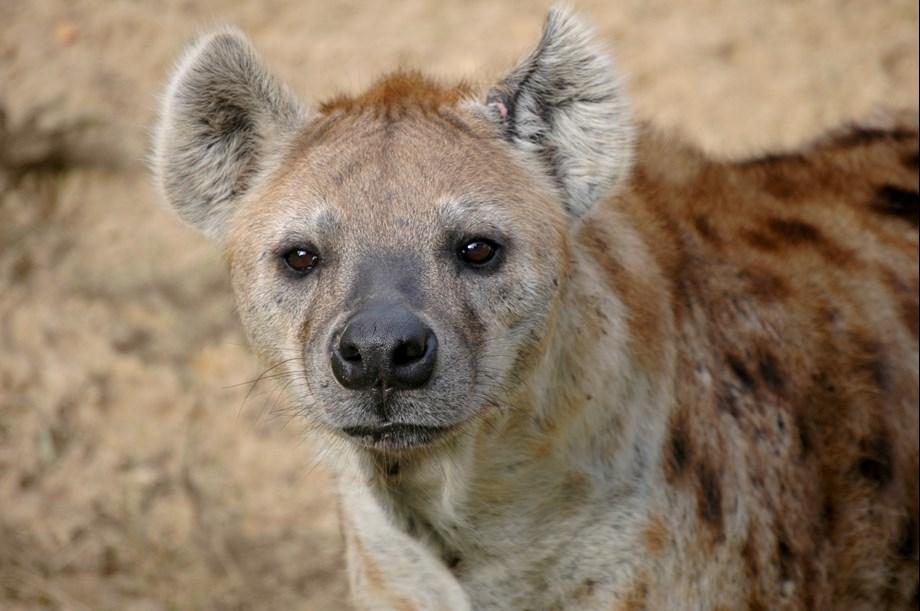Male hyena dies in Assam zoo