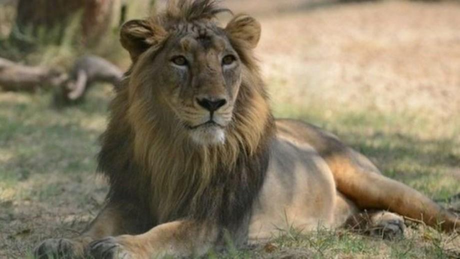 Lion found dead in Gir forest