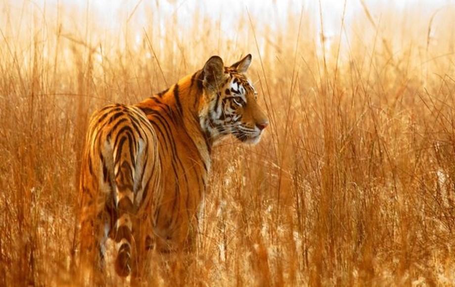 Three poachers in Kerala, Delhi get imprisonment for killing tigers