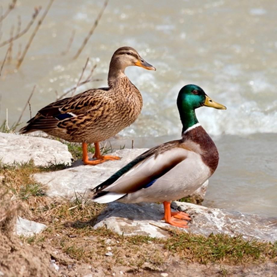 Migratory birds begin arriving in Kashmir Valley to spend winter months
