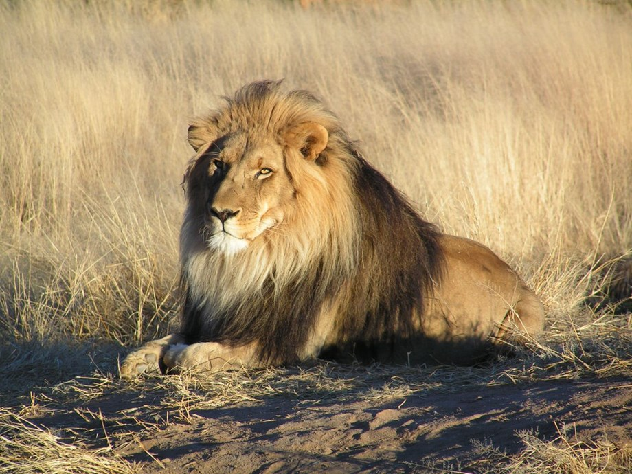 Over 400 buffaloes chased by lions drowned in Botswana