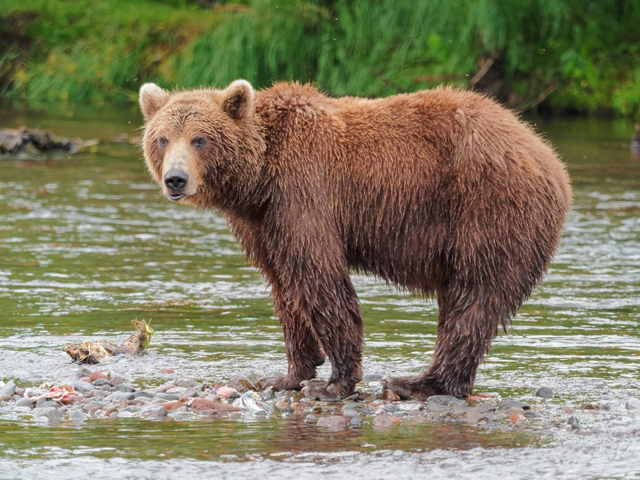 Brown bear population dips in Finland