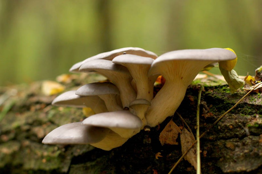 The NewsYet - Sun-exposed oyster mushrooms helpful for tuberculosis patients: Study