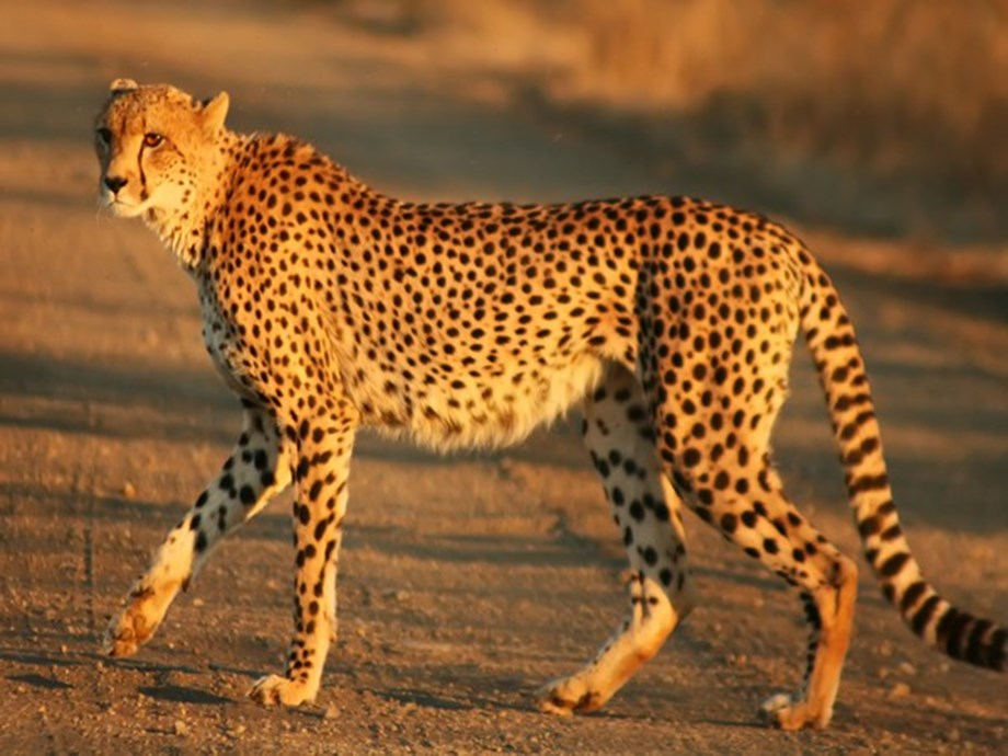 Researchers recommend keeping Cheetahs in zoological gardens to curb their decreasing amount