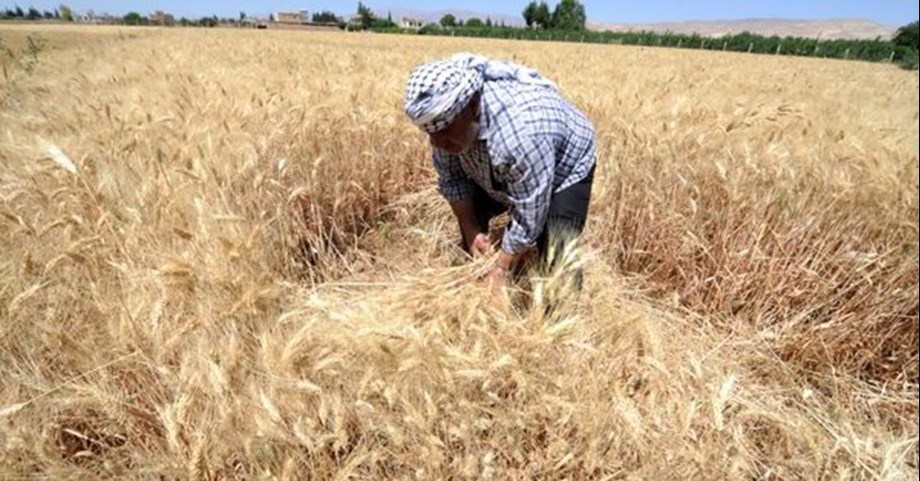 Wheat sowing starts picking up as acreage rises by 20 per cent to 15.19 lakh hectares