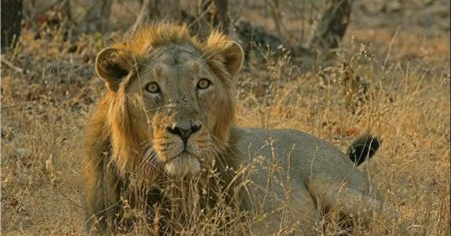 Lions in India test positive for deadly Canine Distemper Virus; already 23 dead