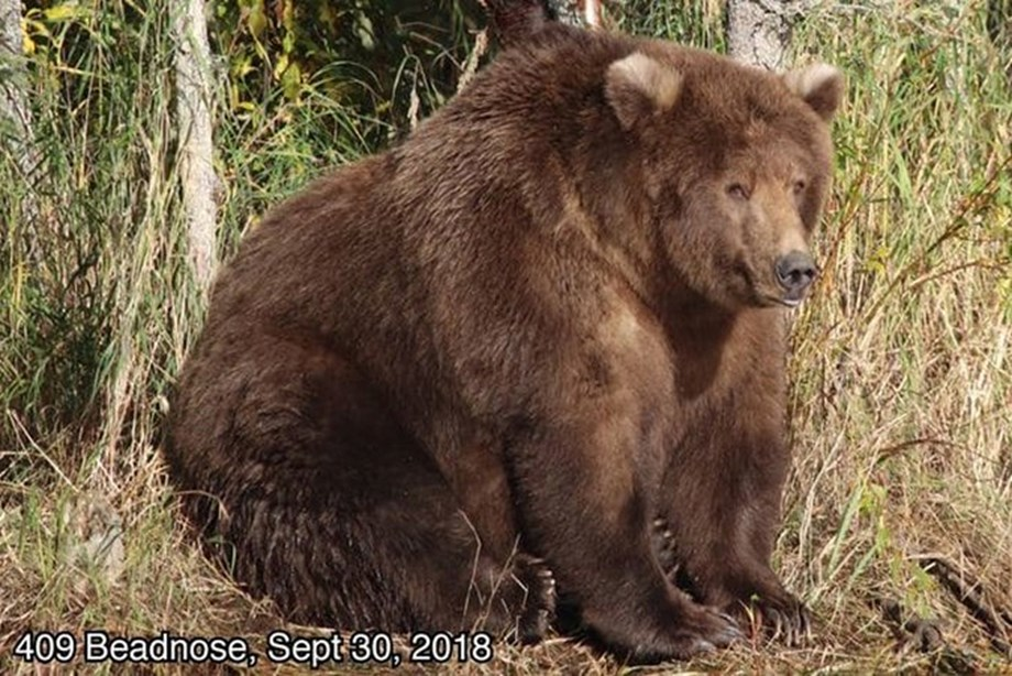 409 Beadnose crowned as Fattest Bear of 2018