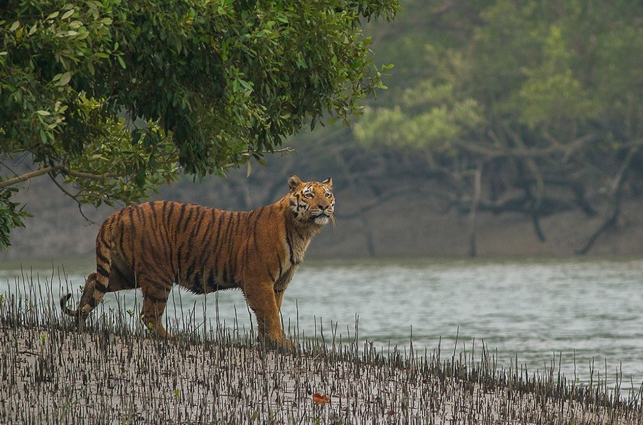Royal Bengal Tigers and Sundarbans under threat due to climate change