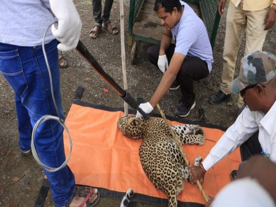 Maharashtra: One-year-old male leopard found injured in Sangamner