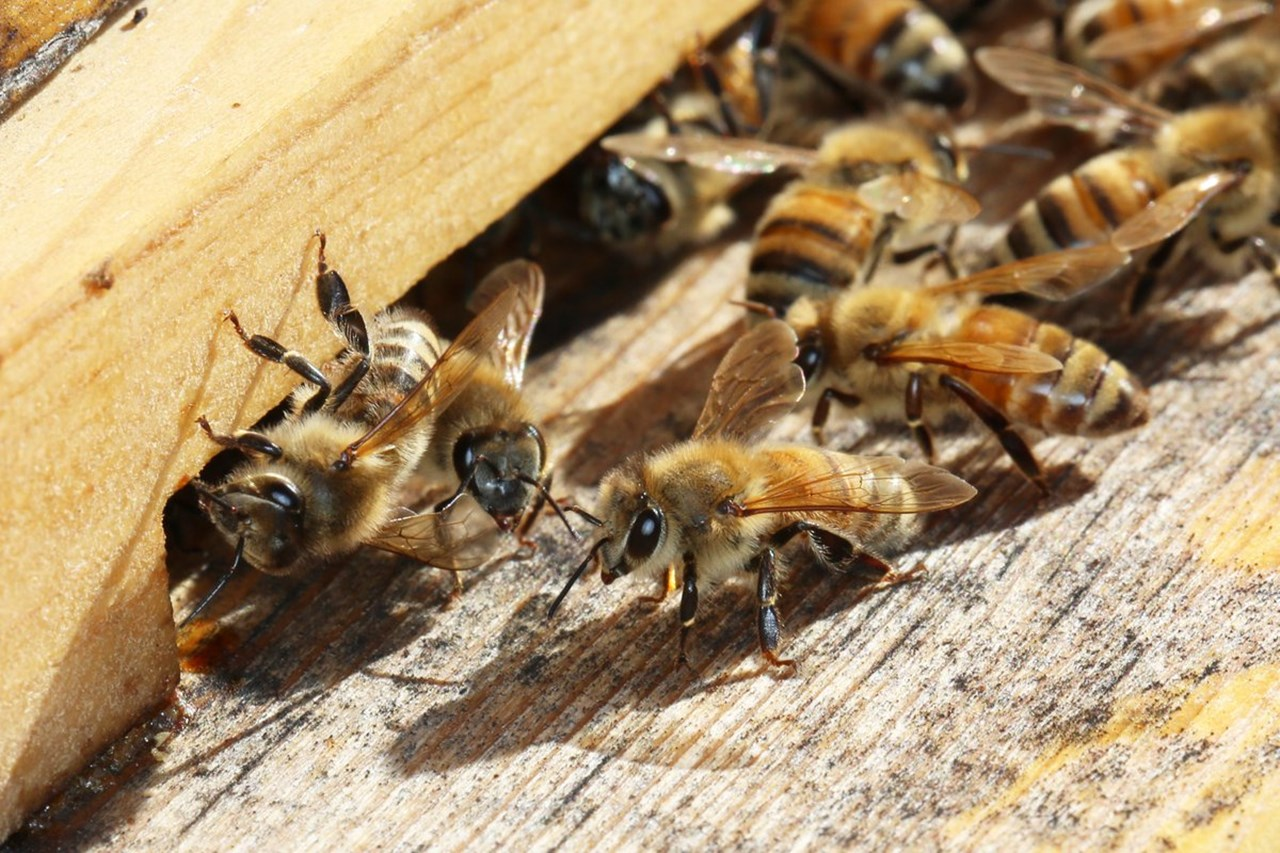 Common herbicide may be killing honeybees, reveals study
