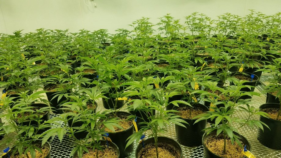 EU illegal drugs body unsatisfied by research on medicinal use of cannabis