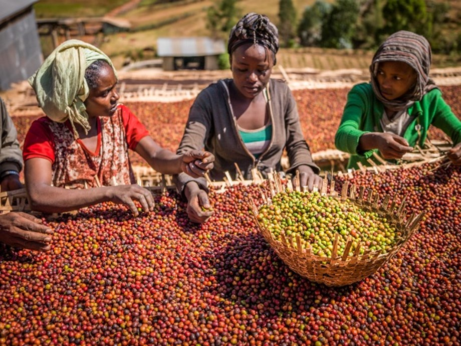 Ethiopian coffee farmers losing hope as coffee prices slump to their lowest