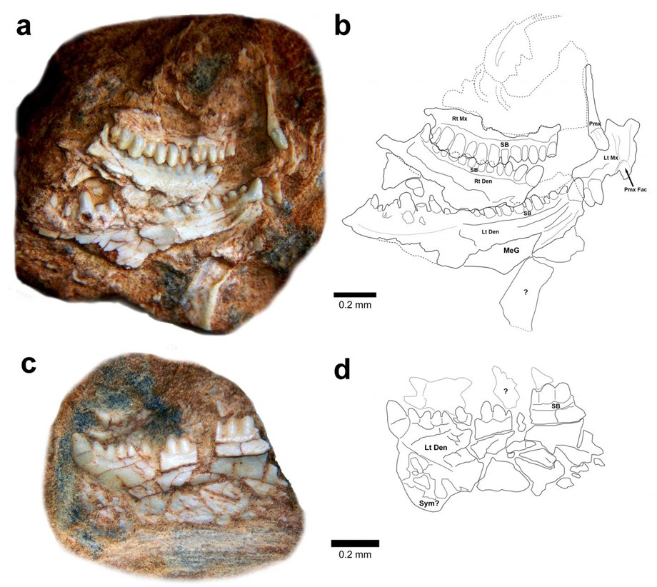 In the shadow of the dinosaurs; Oldest known fossil of its kind in Gondwana
